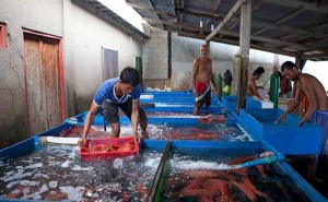 Local fishers prepare their catch for live reef fish trade (Photo courtesy of WWF)