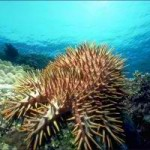 The crown-of-thorns starfish threatens coral reefs in Vanuatu (Photo from the National Advisory Board on Climate Change and Disaster Risk Reduction, Government of Vanuatu)