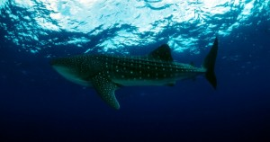 The magnificent butanding swims in Donsol, Sorsogon in the Philippines (Photo by Jurgen Freund/WWF)