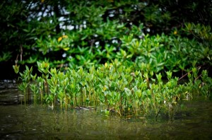 A protected mangrove habitat in Indonesia (ADB Photo Library)