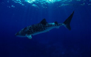 Like human fingerprints, whale shark spot configurations are wholly unique and allow individual sharks to be identified. (Photo by: WWF-Philippines / Jurgen Freund)