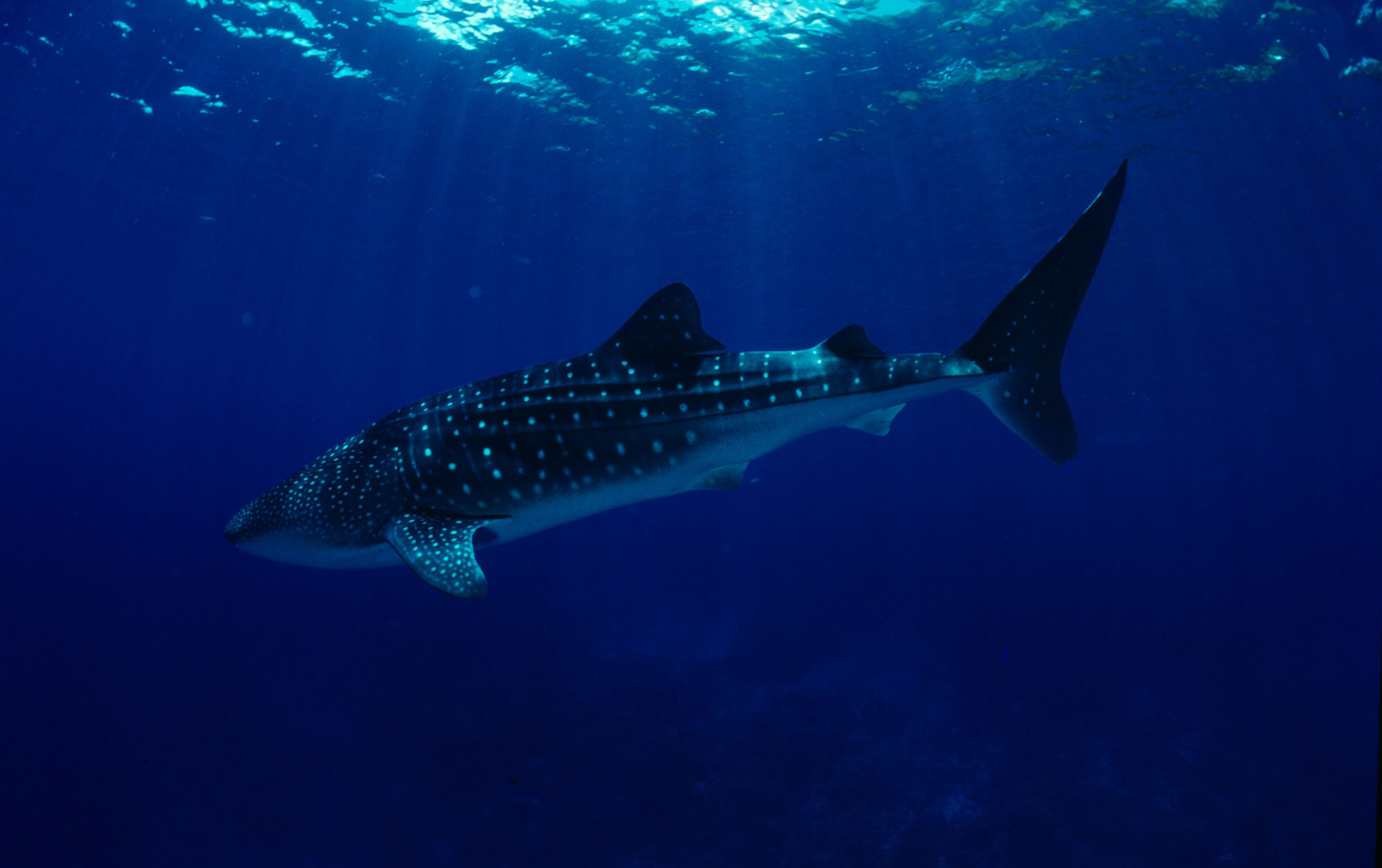 Whale Sharks Escape Warm Waters