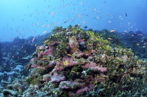 """Healthy corals use chemical signals, or smells, to attract fish. New research has found that corals also send out """"distress"""" signals when they're in trouble. (Photo by Keith A. Ellenbogen/Conservation International)"""