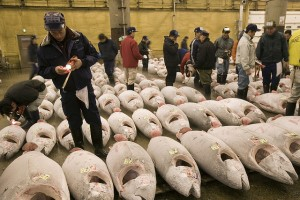 Saving the species before they all end up here. This is where many bluefin tuna end up. Tsukiji fish market, Tokyo, Japan. (Photo by: Michel Gunther / WWF-Canon. Check out project website: On the med tuna trail)