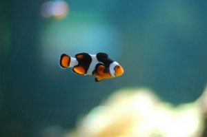 The Orange Clownfish (Amphiprion percula). (Photo by: Jeff Cubina/Center for Biological Diversity)