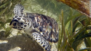 The existence of Hawksbill sea turtles, who also call the waters of the Coral Triangle Region their home, have been traced back 100 million years. Now they are critically endangered, the WWF says. (Photo by WWF)