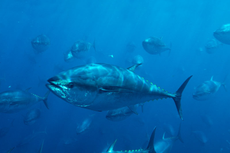 Nations Agree to Slash Eastern Pacific Catch of Bluefin Tuna