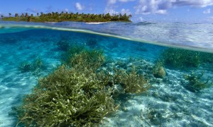 Staghorn coral in the Pacific, a 'key reef-building coral'. (Photograph: Alamy)