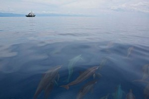 A pod of spinner dolphins approach the M/Y Esperanza in the waters of Tañon Strait between the provinces of Cebu and Negros Oriental. Dolphins face numerous threats such as commercial fishing, chemical pollution, and solid waste like plastics. The Tañon Strait is home to 11 out of the 24 species of cetaceans in the Philippines. (Photo by: Steve De Neef/Greenpeace via www.gmanetwork.com)