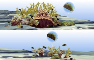 On all coral reefs, an unseen tug-of-war is going on. While corals grow toward the sunlit surface, organisms called bioeroders—mollusks, worms, and sponges—bore into coral skeletons to find shelter. The bioeroders also sculpt nooks and crannies in the skeletons that create hiding places for other creatures. If all is in balance, the coral reef becomes a vibrant, diverse habitat (top). But if factors hinder coral growth or give bioeroders the upper hand, coral reefs will become flattened and die -  E. Paul Oberlander - WHOI