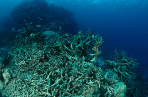 Coral reef destroyed by crown of thorn starfish or by coral bleaching. Great Barrier Reef & Coral Sea, Australia. (Photo by: Jürgen Freund / WWF)