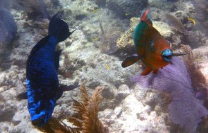 Midnight and rainbow parrotfishes are among the many herbivores helping to preserve Caribbean coral reefs. (Photo from: Florida International University)
