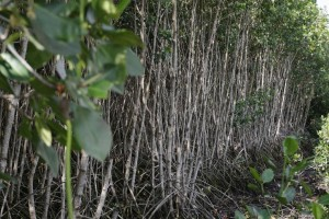 Mangroves are highly efficient carbon sinks, absorbing up to five times as much carbon dioxide as tropical forests. They are also important ecosystems, providing spawning grounds and habitat for hundreds of species. (Photo courtesy of: Bloomberg)