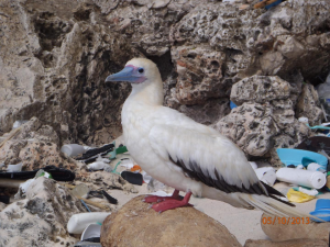 Red-footed booby surrounded by debris on Christmas Island, a territory of Australia in the Indian Ocean. (Photo by: CSIRO)