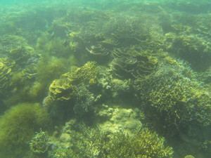 In early May 2014, Hypnea sp. bloomed in the same area but did not overgrow the reef. (Photo by: Jay Maclean)
