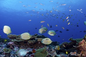 A lively reef in the Phoenix Islands Protected Area, set aside as a marine protected area by the island nation of Kiribati in 2006. Commercial fishing was banned there in 2015. (Photo from: © Keith A. Ellenbogen)