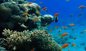 Coral reefs show that hidden genetic diversity can prepare ecosystems for climate change. (Photo by: Prof. J. Wiedenmann, University of Southampton, UK)