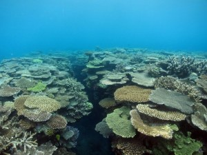 Coral reefs with abundant Acropora communities, in Amami, Japan, on 6 July 2015. (Photo by: Brigitte Sommer for ARC Centre of Excellence for Coral Reef Studies.)