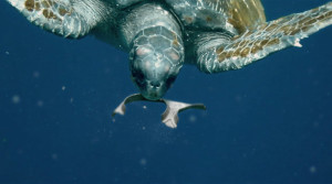 Plastic is among the most common trash item ingested by sea turtles in 2015, according to The Ocean Conservancy. (Photo from: We Believers.)