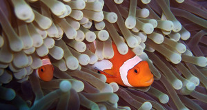 In most places, it's one species of clownfish per anemone. But in the Coral Triangle in Southeast Asia, a new study finds, it's common to find many species of clownfish sharing a single anemone home. (Photo by: SAMUEL CHOW/FLICKR)