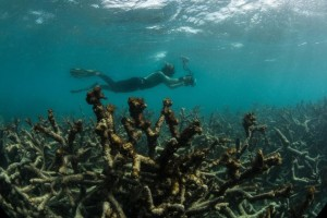 A snorkeler swims over a dead coral reef in May after a bleaching event. (Photo by: XL CATLIN SEAVIEW SURVEY.)