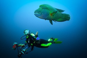 A diver swims with a humphead wrasse. (Photo by: Schöning/ullstein bild via Getty Images)