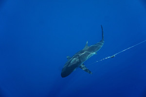 A hooked silky shark being slowly pulled to the surface.  (Photo by: ©Phil Dearden/LAMAVE.)