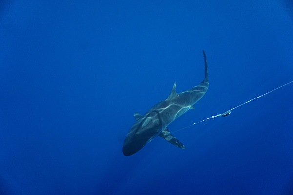 Researchers Tag the First Tiger Shark in the Coral Triangle