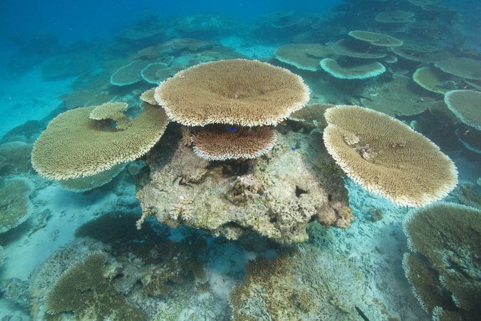 Healthy and thriving Acroporid table corals at the Coral Castles site last September. (Photo by: Shawn Harper/New England Aquarium)