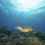 A critically endangered hawksbill turtle swims freely at Apo Island, Dauin, Negros Oriental. The Marine Protected Area (MPA) of Apo Island was destroyed caused by Typhoon Pablo in December 2012. An increase in the severity of extreme weather events is one of the predicted effects of climate change. (Photo by: Steve De Neef/Greenpeace)