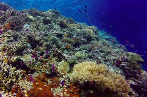 The Philippines hosts 27,000 square kilometers of coral reefs but just 1% are rated in excellent condition. (Photo by: WWF)