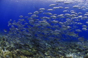 The waters of the Philippines are some of the most productive in the Coral Triangle. Shown is a large school of trevally in Cagayancillo, which also covers the famed atolls of Tubbataha in Palawan. (Photo from: Business MIrror)