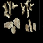 An image of parrotfish teeth, coral fragments, and urchin spine fossils analyzed from reef sediment cores. (Photo by: Scripps Oceanography/Katie Cramer)